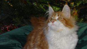 Котёнок на продажу, владелец Чунихина Ирина