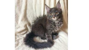 Котёнок на продажу, владелец Дроздова Сталина Анатольевна