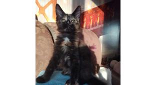 Котёнок на продажу, владелец Косенок Татьяна